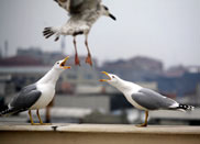 The yellow-legged gulls are almost a symbol of Istanbul, their cries heard across neighbourhoods - image courtesy of Bora Ateş